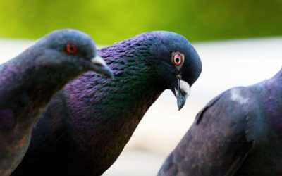 The Hidden Danger of Birds: The Facts You Need to Know About Bird Mites