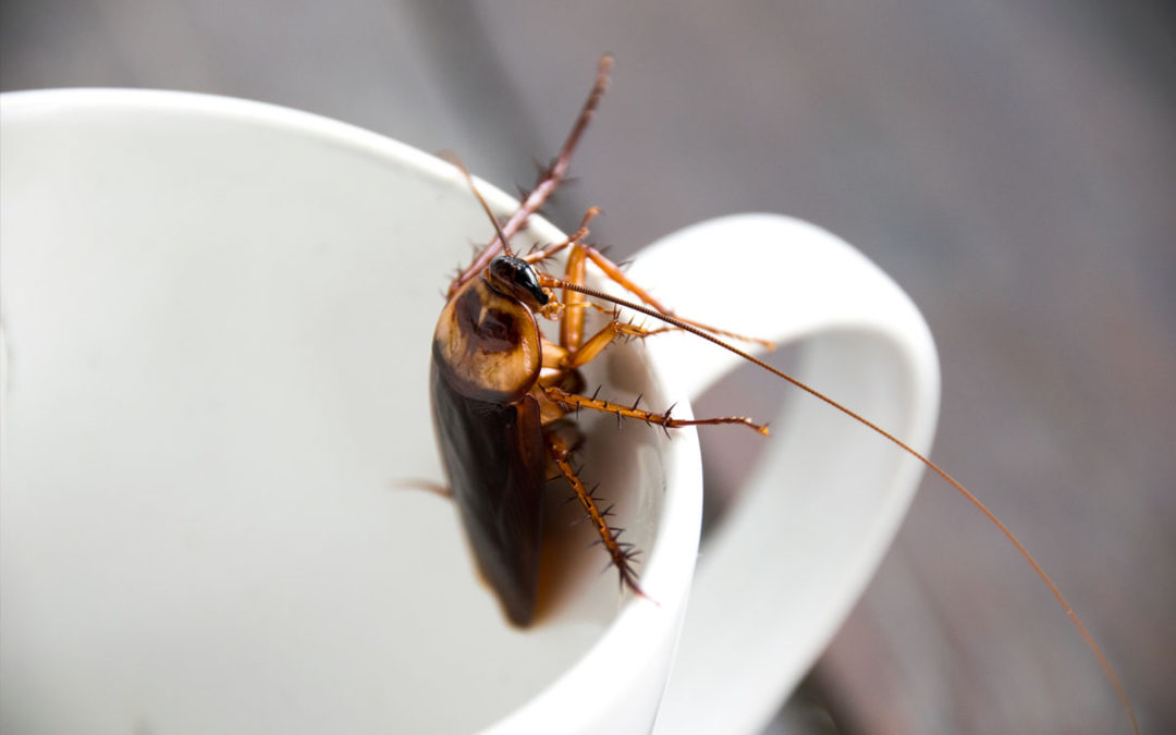 Drought Leads to a Major Increase in Cockroaches
