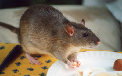 The Rodent Breeding Cycle & How to Stop It
