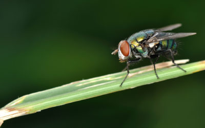 Bug Off: Why Flies Won't Leave You Alone