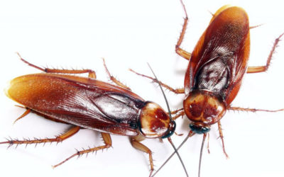The Hidden Agenda of Cockroaches in Your Home