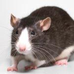 rat poison- roof rats