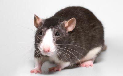 Why conventional rat poisons tend to be ineffective in the long run