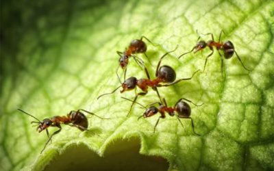Why operations managers should consider ant control