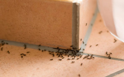 When ants Invade guesthouses: tips to avoid unwelcome guests
