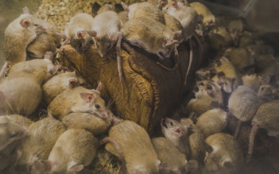 The 5 Shocking Dangers of Rats and Mice in Winter