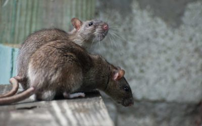 5 Common Hotspots for Rodent Infestations